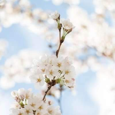 Kirschblüten (3)